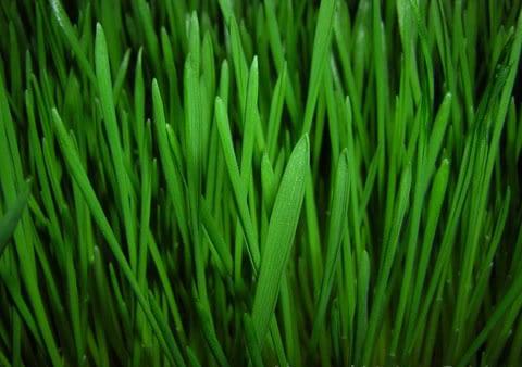 wheat-grass_w